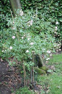 Emmerick-Rose